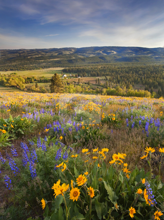 Golden Valley stock photo, Golden Light and golden flowers upon the slopes above the Upper Wenas Valley in Central Washington by Mike Dawson