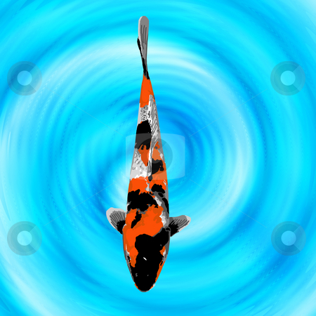 Baby tri-color koi stock photo, A baby orange, black, and white koi swimming quietly in a fish pond. by Karen Carter