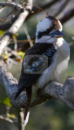 Laughing Kookaburra Dacelo novaeguineae stock photo, Laughing Kookaburra (Dacelo novaeguineae) sitting on a branch by Emma White