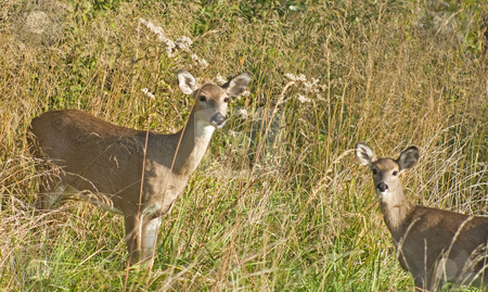 Deer in grassy meadow stock photo, Two deer in grassy meadow on alert with ears up by Dennis Crumrin