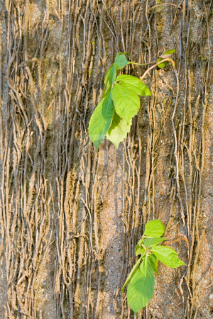 Background stock photo, Concrete wall with vines that are starting to come alive. by Dennis Crumrin