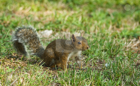 Small squirrel stock photo, Little curious squirrel on green meadow in Italy by ANTONIO SCARPI