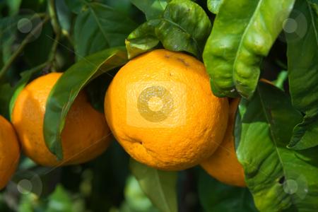 Orange stock photo, Oranges on a tree with green foliage by ANTONIO SCARPI