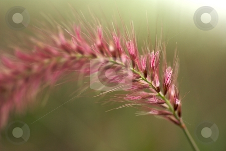 Blooming Red Grass stock photo, Closeup of a Blooming Red Grass by Charles Jetzer