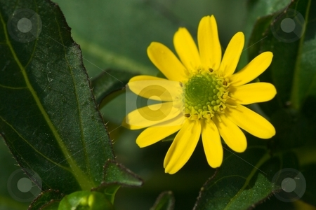 Bidens Solaire Bloom stock photo, Closeup of a Bidens Solaire Bloom by Charles Jetzer