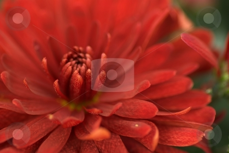 Maroon Mum Starburst stock photo, Maroon Mum Starburst by Charles Jetzer