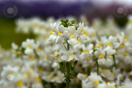 Hiding in Plain Sight stock photo, Closeup of a White Nemesia Bloom by Charles Jetzer