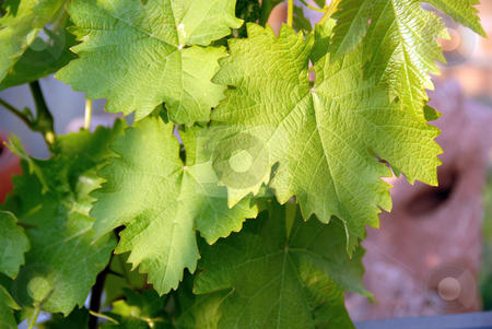 Green vine leaves stock photo, Young green vine leaves outdoor at spring background by Julija Sapic