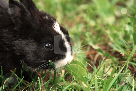 Black rabbit stock photo, Small black rabbit at grass outdoor eating a leaf by Julija Sapic