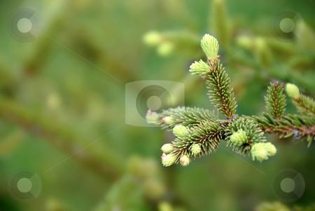 Green fir branch stock photo, Young green fir branch at spring over green blur background by Julija Sapic