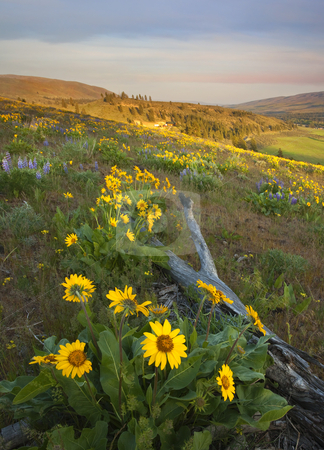 Fallen in PAradise stock photo, A log fallen amongst colorful balsamroot and lupine on a hillside overlooking the Wenas Valley by Mike Dawson