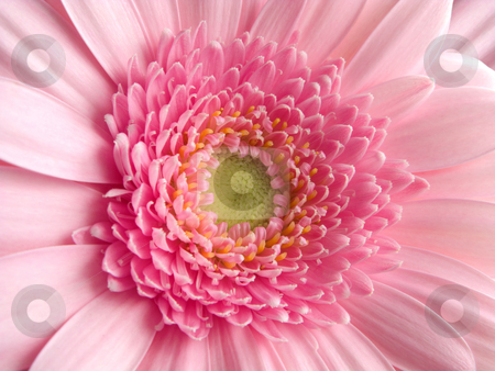 Close up of a pink gerbera flower. stock photo, Close up of a pink gerbera flower. by Stephen Rees