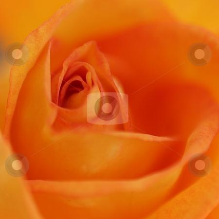 Orange Dream stock photo, Beautiful romantic orange rose blooming macro shot. by Henrik Lehnerer