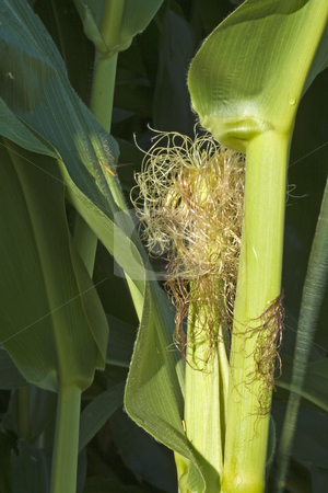 Closeup of Corn Plant stock photo, Closeup of corn plant in field by Dennis Crumrin