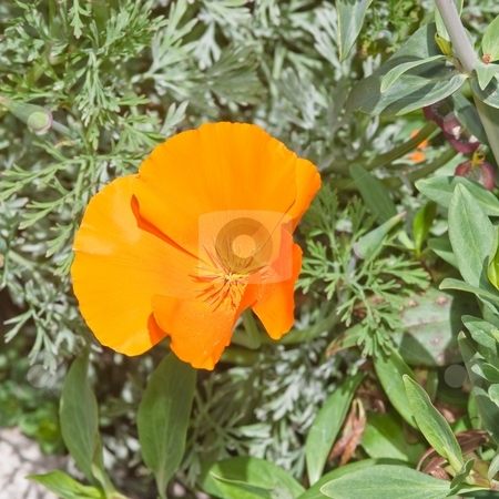 California poppy stock photo, California poppy (Eschscholzia californica) is native to grassy and open areas from sea level to 2,000m (6,500 feet) altitude in the western United States throughout California, extending to Oregon, southern Washington, Nevada, Arizona, New Mexico, and in Mexico in Sonora and northwest Baja California. by Mariusz Jurgielewicz