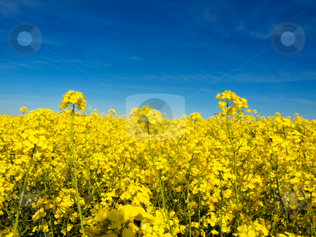 Rapeseed field stock photo, Rapeseed field at spring under blue sky and clouds by Laurent Dambies