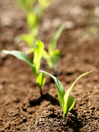 Young corn crops stalk stock photo, Young corn crop at spring by Laurent Dambies