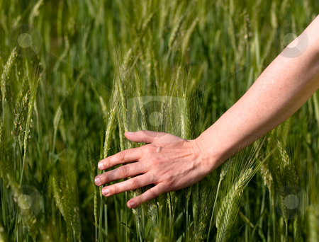 Woman hand in barley field stock photo, Closeup of a woman hand touching green barley ears by Laurent Dambies