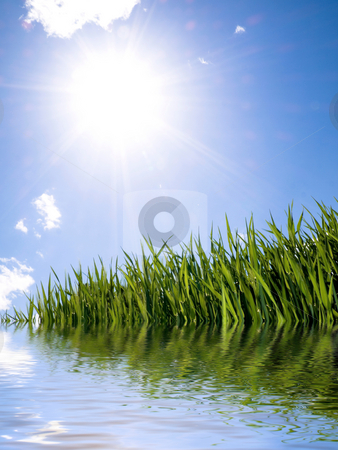 Green wheat field stock photo, Green wheat field with water reflection by Laurent Dambies