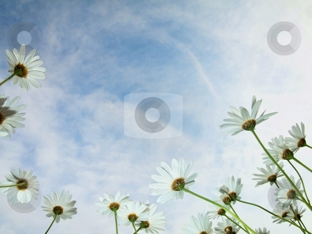 Growing daisies stock photo, Daisies at spring under blue sky with clouds by Laurent Dambies