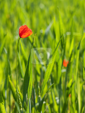 Fresh young wheat stock photo, Close up of a fresh green young wheat field with poppy flower by Laurent Dambies