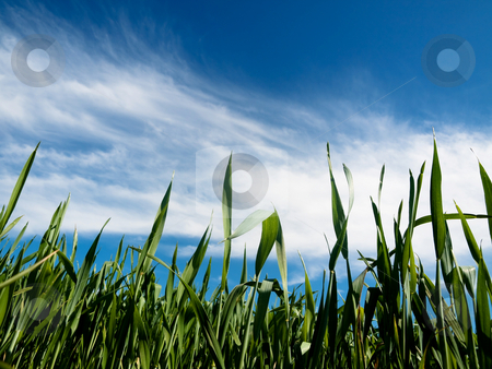Young wheat field at spring stock photo, Young wheat field at spring under blue sky with clouds by Laurent Dambies