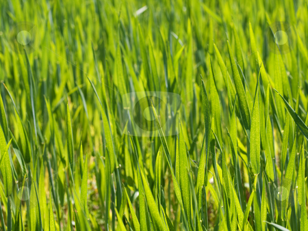 Fresh young wheat stock photo, Close up of a fresh green young wheat field at spring by Laurent Dambies