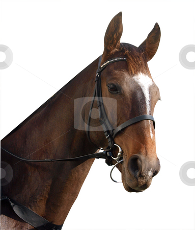 Racehorse Portrait stock photo, Racehorse isolated with clipping path. by Margo Harrison