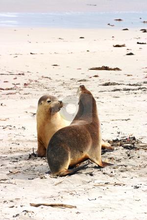 Pair of Australian sea lions (Neophoca cinerea) stock photo, Pair of Australian sea lions (Neophoca cinerea) on the beach at Seal Bay, Kangaroo Island, South Australia; by Stephen Goodwin