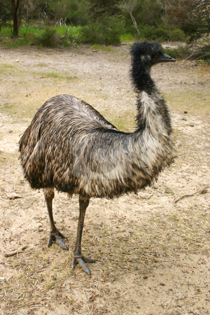 Adult emu (Dromaius novaehollandiae) in South Australia stock photo, Emu (Dromaius novaehollandiae) adult at a farm on Kangaroo Island, South Australia by Stephen Goodwin