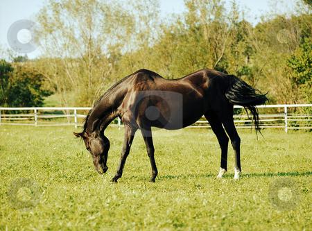 Alisha stock photo, Akhal-Teke mare with saddle back by Andreas Brenner