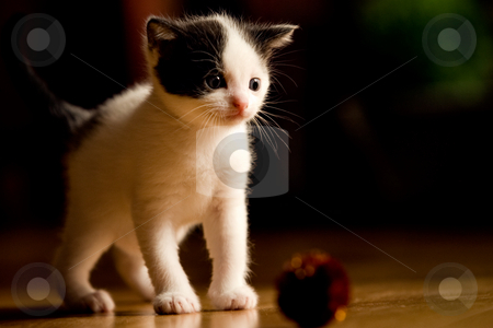 Kitten at 3 weeks old looking confused stock photo, Image of a kitten only 3 weeks old by Frenk and Danielle Kaufmann