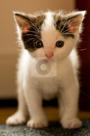 Kitten at 3 weeks old looking curious at you stock photo, Image of a kitten only 3 weeks old by Frenk and Danielle Kaufmann