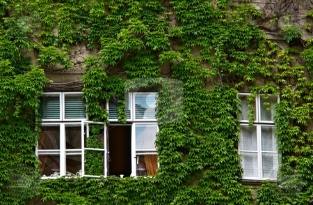 Green ivy facade stock photo, Windows covered with green ivy on facade by Juraj Kovacik