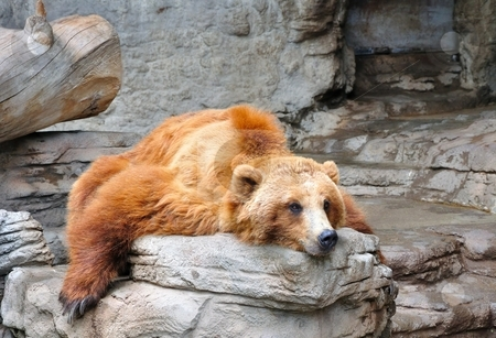 Lazy Grizzly stock photo, A large male grizzly bear rests on a flat rock. by Ben O'Neal
