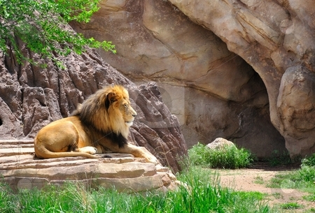 Male Lion stock photo, A male lion rests and looks out over the grass. by Ben O'Neal