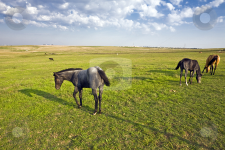 Four Horses stock photo, Horses graze in a pasture on the rolling plains near Dodge City, Kansas by Bart Everett