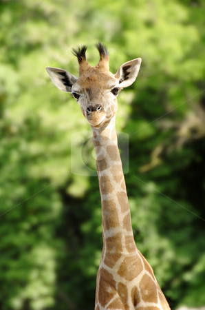 Giraffe stock photo, Baby giraffe portrait over blur green background by Julija Sapic