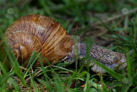 Snail stock photo, Big snail in green grass on background by Jolanta Dabrowska