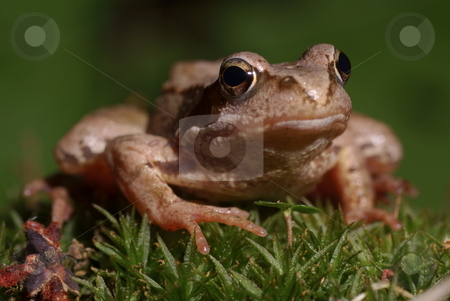 Frog stock photo, Big  brown frog sitting on green grass by Jolanta Dabrowska