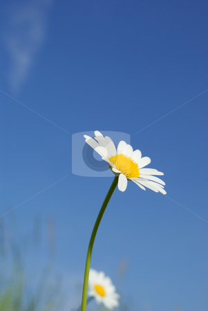 marguerite stock photo, Big white daisy on background sky blue by Jolanta Dabrowska