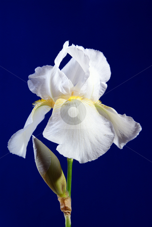 Iris stock photo, Full-blown white flower iris on blue background by Jolanta Dabrowska