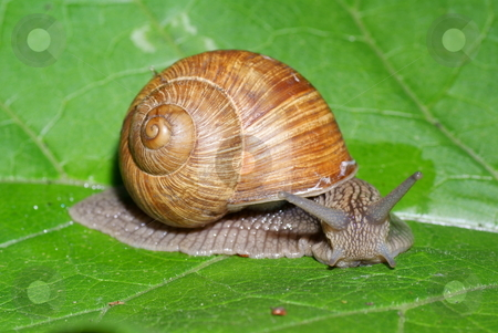 Snail stock photo, big snail on green leaf as background by Jolanta Dabrowska