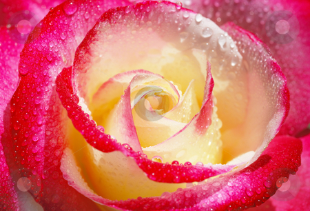 Yellow and red rose stock photo, Close-up of a yellow and red rose with droplets. by Ivan Paunovic