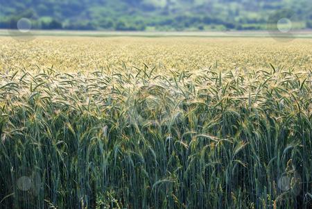 Barley in morning sun stock photo, Field of barley with morning sun backlit. by Ivan Paunovic