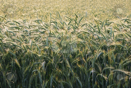 Barley in morning sun stock photo, Field of barley with morning sun backlit. by Ivan Paunovic