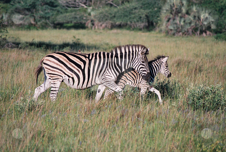 Zebra Mother and Child stock photo, A Plains or Common (formerly Burchell's) zebra (Equus quagga) and her foal go for a walk in Phinda Game Reserve, South Africa.  A red-billed oxpecker (Buphagus erythrorhynchus) is perched on top of the mother. by Daniel Rosner
