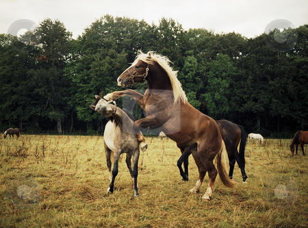 Fighting horses stock photo, Arabian and carthorse fighting/playing by Andreas Brenner