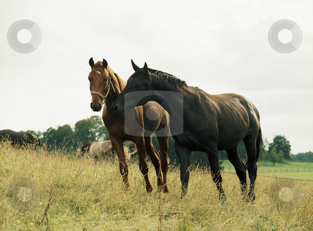 Grazing horses stock photo, Two horses grazing by Andreas Brenner