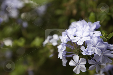 Purple Spring Flower Blossom stock photo, Purple Spring Flower Blossom Macro with Narrow Depth of Field. by Andy Dean